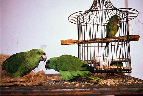 papagei san cristolbal